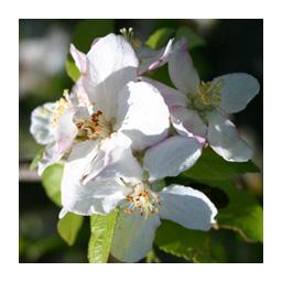 des fleurs de pommier