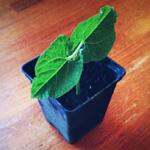 plantation haricot