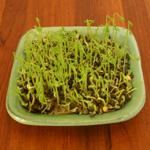 plantation lentilles