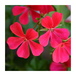 memory fleurs